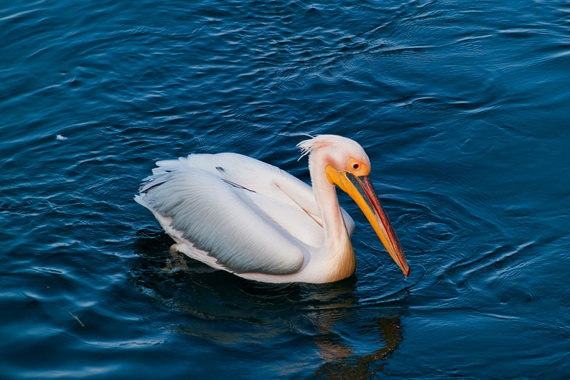 A big white bird on the water
