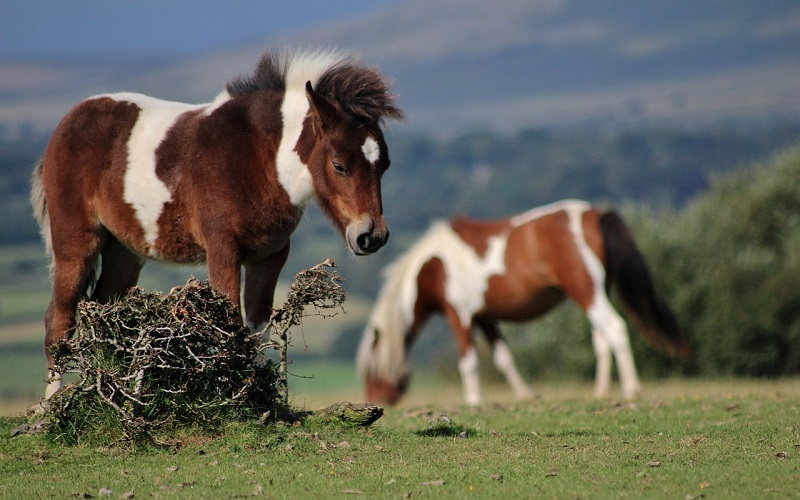 Two brown and white horses