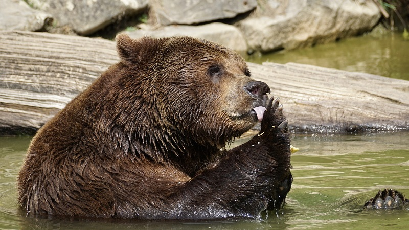 A bear in the water