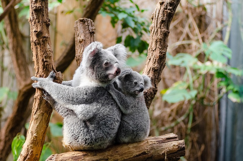 Koala sitting on a tree