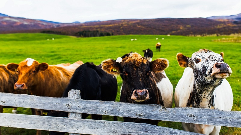 Cows behind the fance