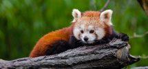 Red panda on a tree